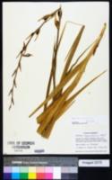 Image of Gladiolus communis