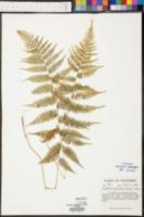 Image of Asplenium asplenioides