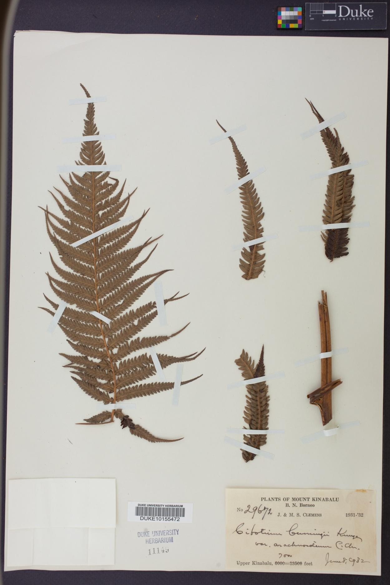 Cibotium cumingii image