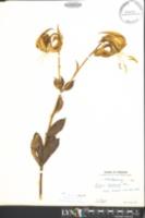 Lilium michauxii image