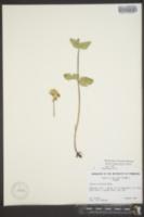 Image of Arnica diversifolia