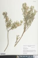 Image of Salix occidentalis