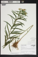 Euthamia graminifolia var. nuttallii image