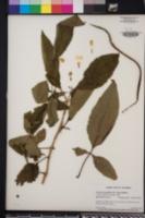 Image of Tecoma castanifolia