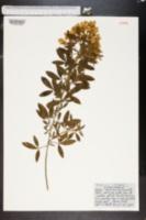 Image of Cytisus proliferus