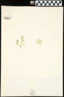 Selaginella eclipes image