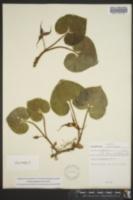 Asarum rubrocinctum image