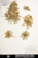 Selenia dissecta image