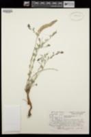 Dalea pogonathera var. pogonathera image