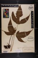 Image of Tectaria trifoliata