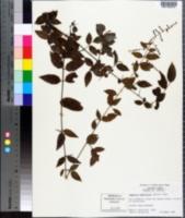 Sageretia minutiflora image