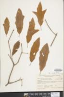 Quercus x anceps image
