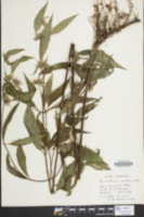 Image of Pycnanthemum montanum