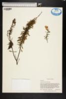 Image of Conradina etonia
