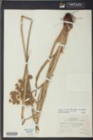 Cyperus virens image