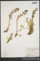 Image of Artemisia laciniata