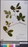 Image of Rhododendron prunifolium