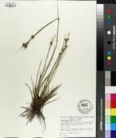Image of Rhynchospora fuscoides