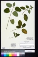 Image of Scutellaria ocmulgee