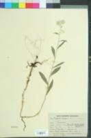 Image of Anaphalis nepalensis