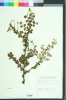 Image of Cotoneaster apiculatus