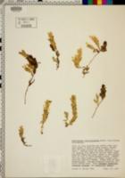 Image of Orthocarpus castillejoides
