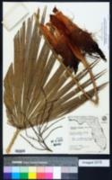 Acoelorraphe wrightii image