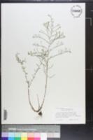 Symphyotrichum depauperatum image