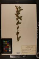 Lonicera caprifolium image