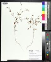 Image of Croton michauxii