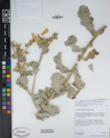 Argemone munita subsp. rotundata image