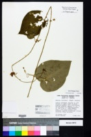 Matelea flavidula image