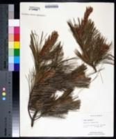 Pinus strobus image