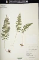 Image of Pecluma hartwegiana