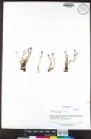 Downingia bicornuta var. bicornuta image
