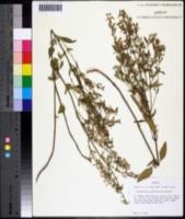 Image of Scutellaria glabriuscula