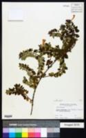 Abelia floribunda image