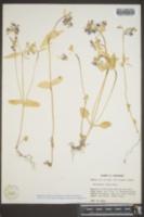 Collinsia verna image