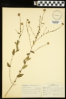 Image of Aster gracilis
