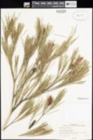 Image of Grevillea hookeriana