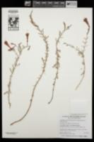 Epilobium canum subsp. garrettii image