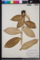 Costus woodsonii image