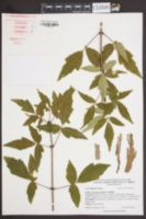 Image of Acer triflorum