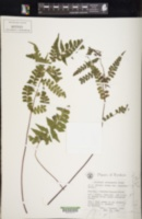 Image of Lindsaea javanensis