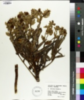 Helleborus foetidus image