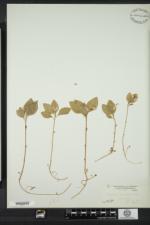 Polygaloides paucifolia image
