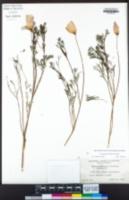Eschscholzia californica image