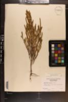 Salicornia bigelovii image