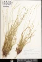Image of Carex amplisquama
