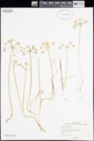 Image of Allium hyalinum